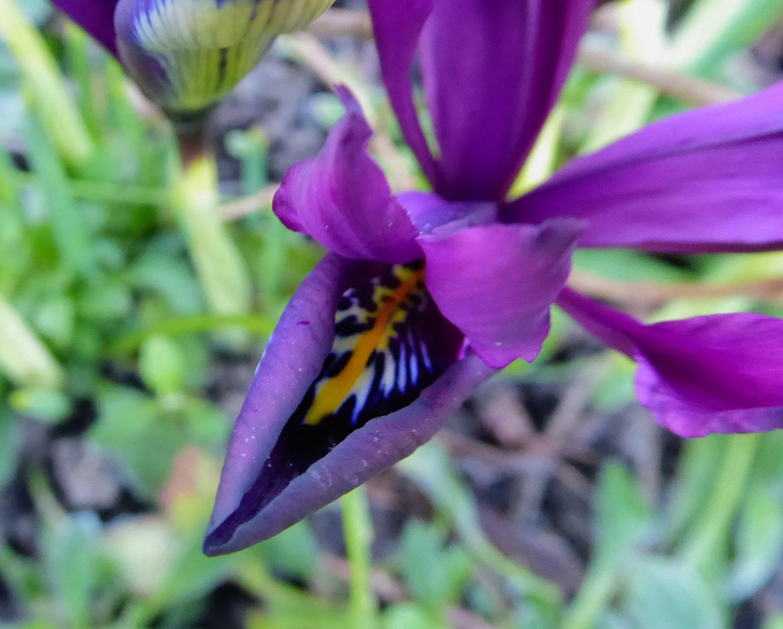 de bloem iris